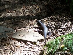 Land mullet Skink at Spring brook National Park